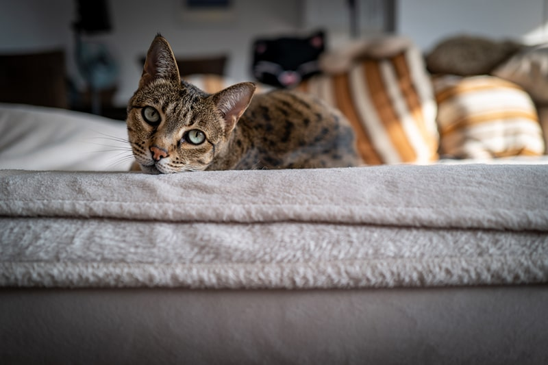 What's a Savannah Cat Meet the Breed _ ASPCA Pet Health Insurance _ savannah cat resting on a couch with a white blanket and striped pillows