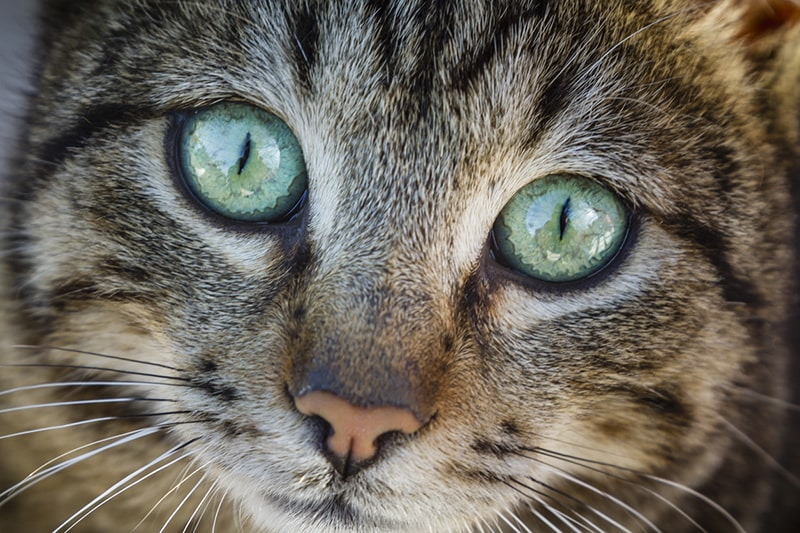 caring for a savannah cat _ close up of a savannah cat face with big green eyes