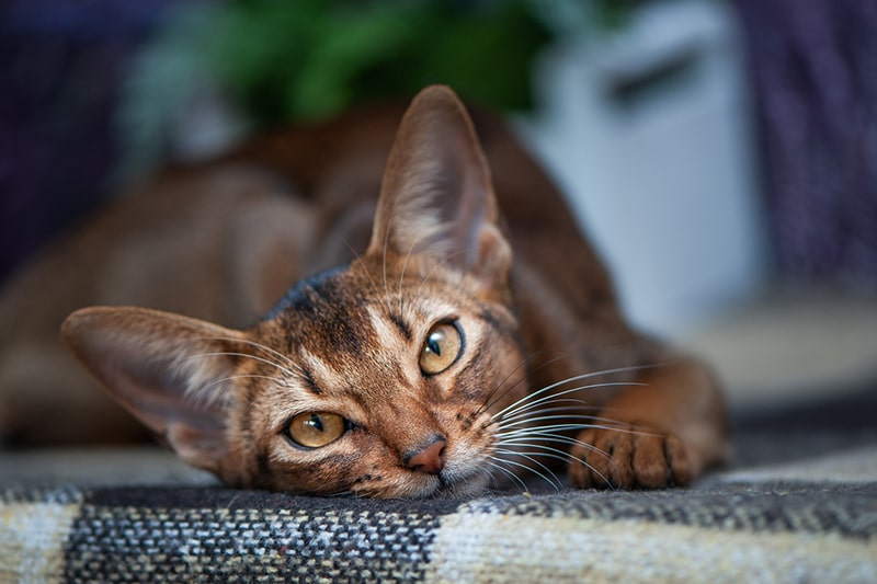 fun facts about Abyssinian cats _ aby cat resting atop a black and yellow checkered blanket