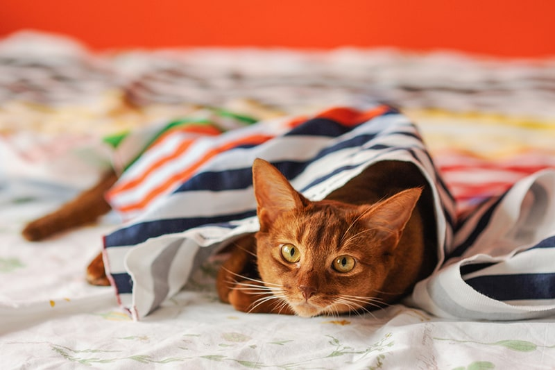 how to groom and care for an Abyssinian cat _ orange aby cat under a colorful striped blanket