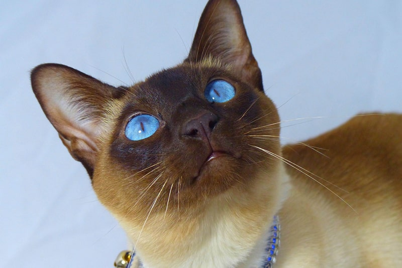 Tonkinese Cat Facts _ Personality Coat and Health _ ASPCA Pet Health Insurance _ Tonkinese cat with blue eyes and a blue collar