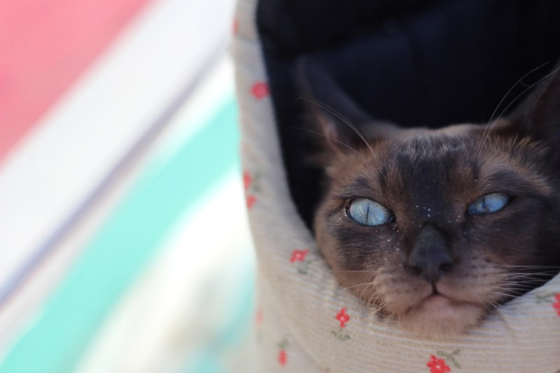 common Tonkinese cat health problems _ tonk cat poking its head out of a cloth bag
