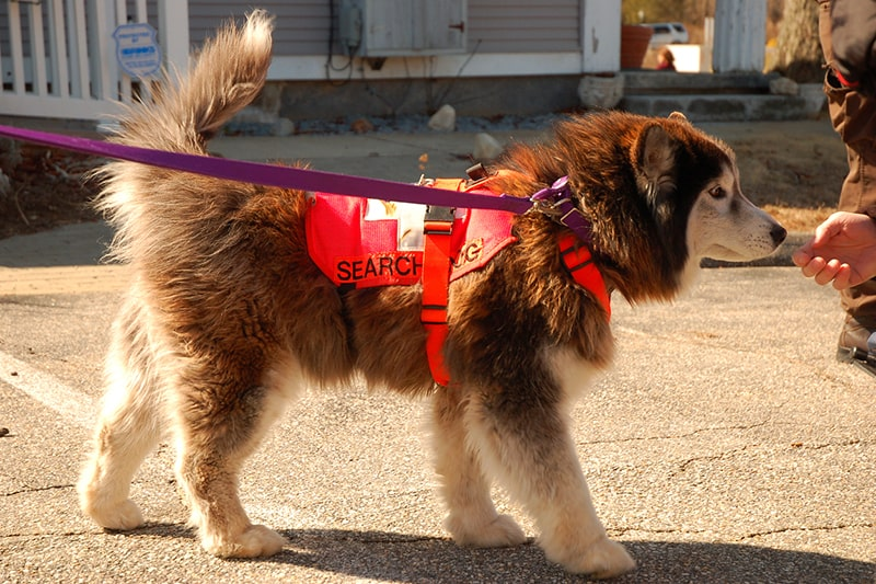 What Are Emotional Support Therapy and Working Pets _ ASPCA Pet Health Insurance _ search and rescue dog in a red harness with a purple leash