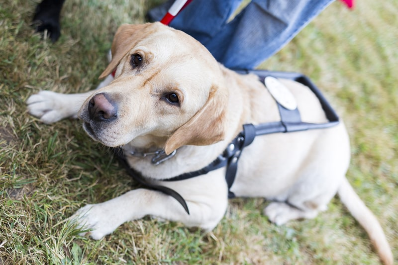 what is a service animal _ Labrador retriever guide dog helping a visually impaired person