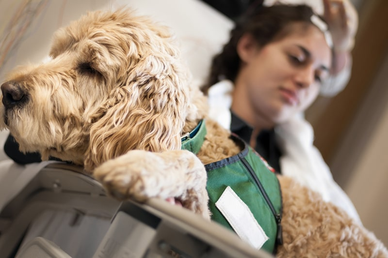 what is a therapy animal _ therapy dog on the lap of a patient helping to calm them