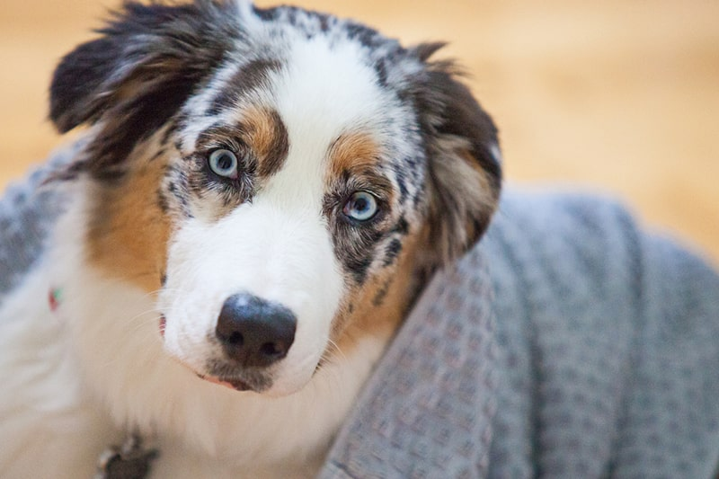 common health issues for Australian shepherds _ aussie shepherd resting indoors with a gray towel on his back