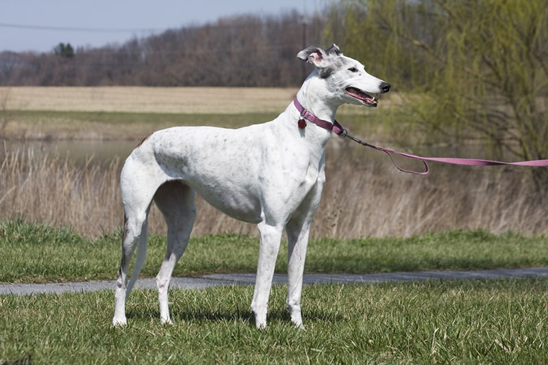 history of greyhound dogs _ retired racing dog outside with a pink leash and collar