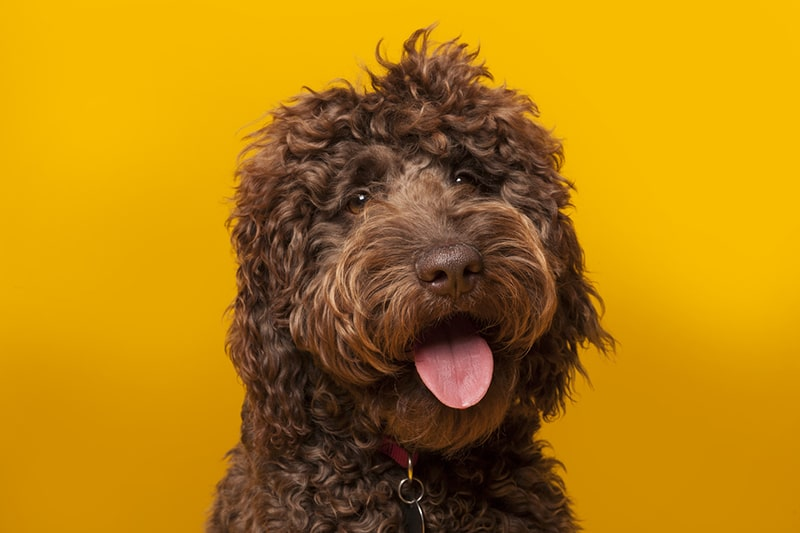 Labradoodle FAQs _ Health, Grooming, and More _  ASPCA Pet Health Insurance _ smiling chocolate Labradoodle on an orange background