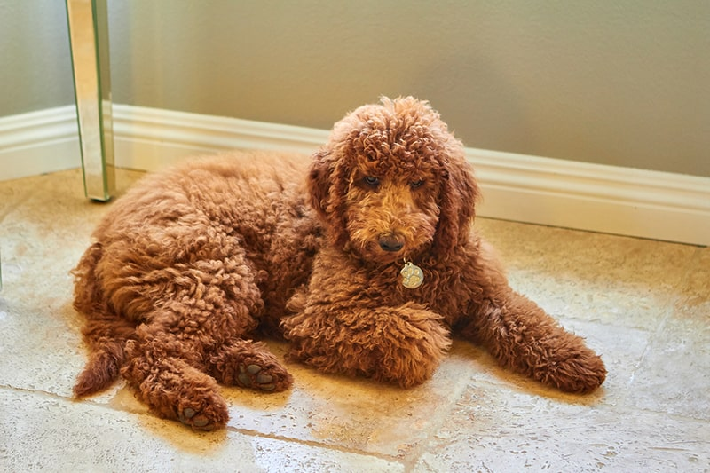 how to groom a labradoodle _ fluffy labradoodle on a kitchen floor