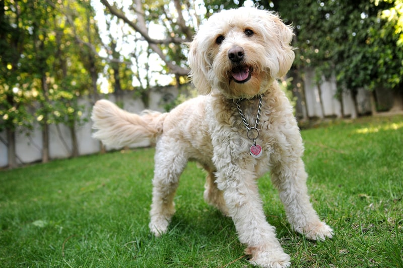what to know about owning a labradoodle _ white labradoodle ready to play in a backyard