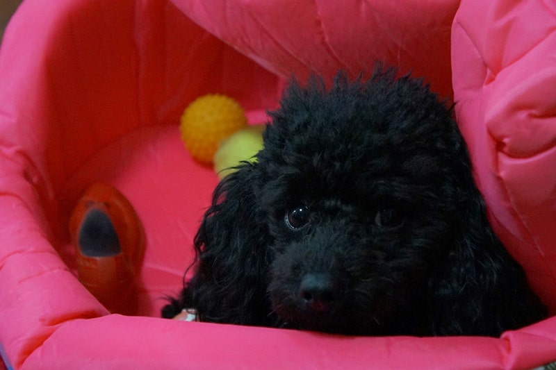 common health issues for toy poodles _ black toy poodle lying on a pink bed