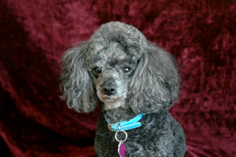 how to train a toy poodle _ gray toy poodle with a teal collar and pink tag in front of a red velvet backdrop