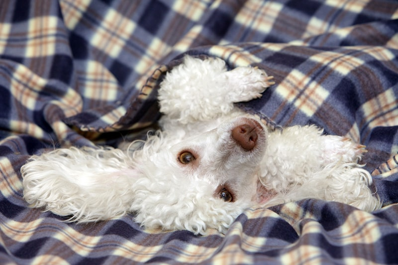 what toy poodles look like _ white toy poodle under a blue plaid blanket