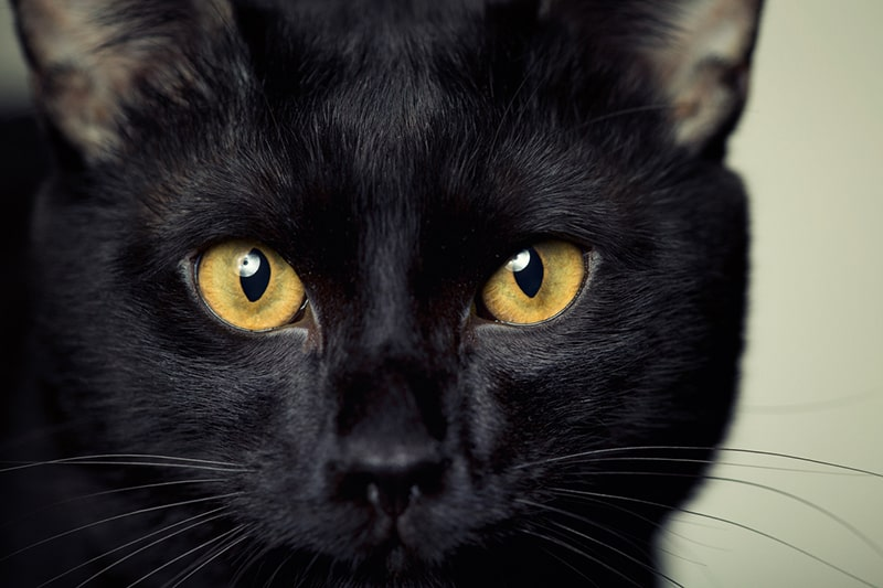 What Is a Bombay Cat? Get to Know This Stunning Breed _ ASPCA Pet Health Insurance _ close-up of a Bombay cat with gold eyes