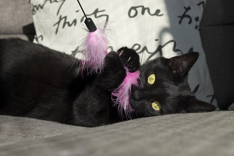common health problems for Bombay cats ) black cat playing with a pink toy