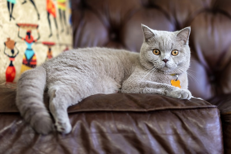 British Shorthairs: Personality, Shedding, and Care _ ASPCA Pet Health Insurance _ gray shorthair resting on a brown leather couch