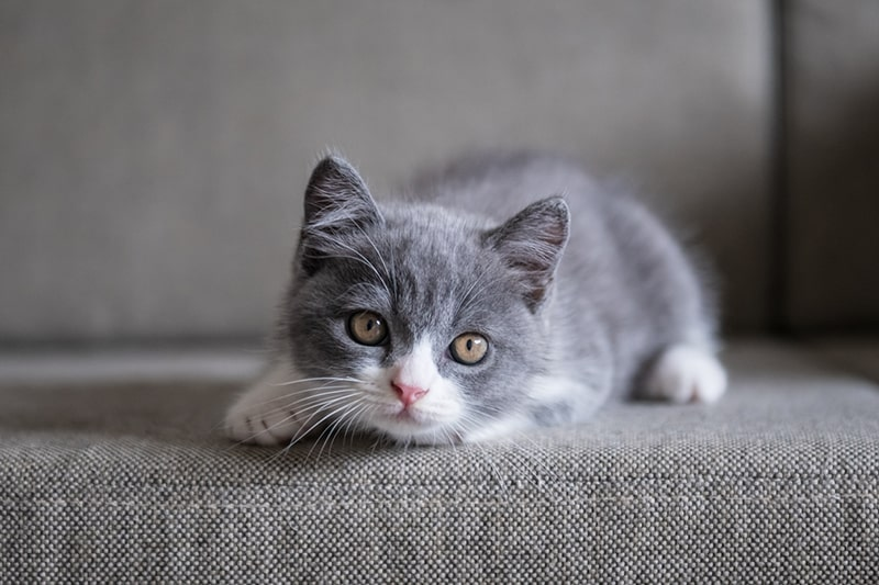 fun facts about british shorthair cats _ gray and white shorthair kitten