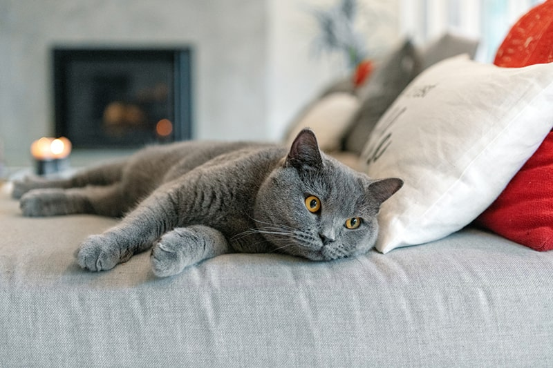 how to groom a british shorthair cat _ gray british shorthair cat with yellow eyes