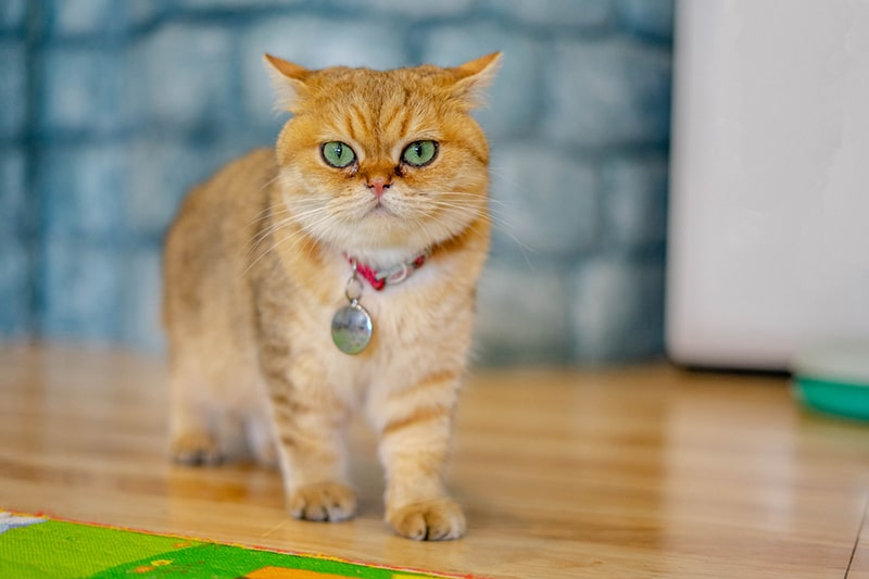 what a british shorthair cat looks like _ golden fur british shorthair with a red collar