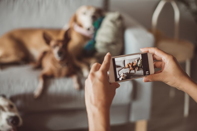 How to Photograph Pets Tips and Tricks _ ASPCA Pet Health Insurance _ pet sitter taking a photo with her smartphone of three dogs by a couch