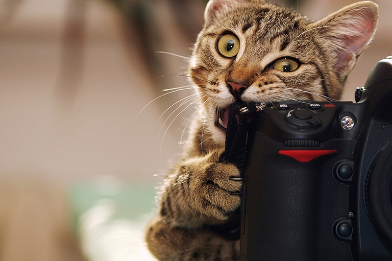 tips for taking photos of dogs and cats _ tabby cat biting a camera