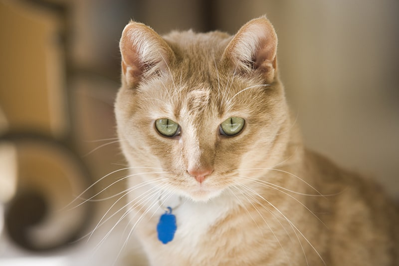 What Is Intervertebral Disc Disease (IVDD) in Cats _ ASPCA Pet Health Insurance _ cream and white tabby cat with a blue tag and green eyes