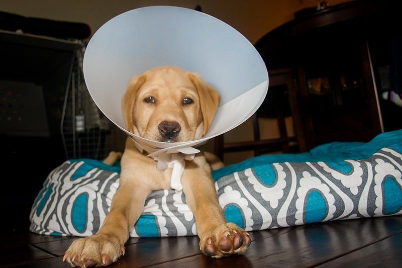 should a female dog or cat have a litter before being spayed _ Labrador retriever puppy in a plastic cone on a blue and white dog bed