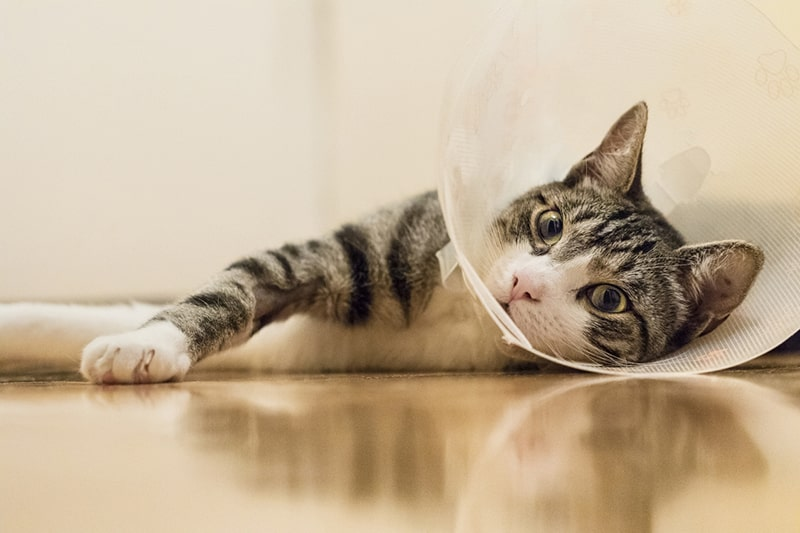 when to spay or neuter your dog or cat _ tabby cat in a plastic collar after surgery