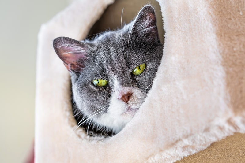 All About Mixed Breed Cats _ What Mix Is Yours _ ASPCA Pet Health Insurance _ green eyed mixed breed cat looking out from a cat tower