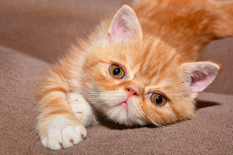 attributes of an exotic shorthair cat _ orange and white exotic kitten lying on a tan couch