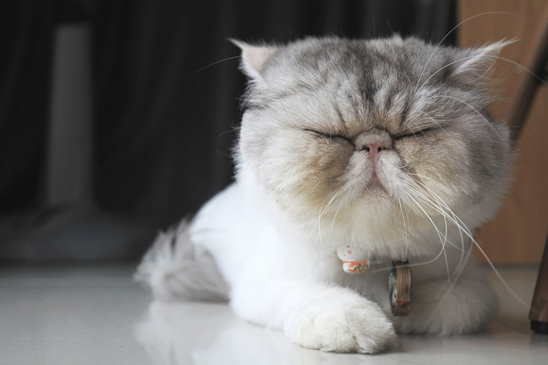 common health problems for exotic shorthair cats _ exotic cat with white and gray fur