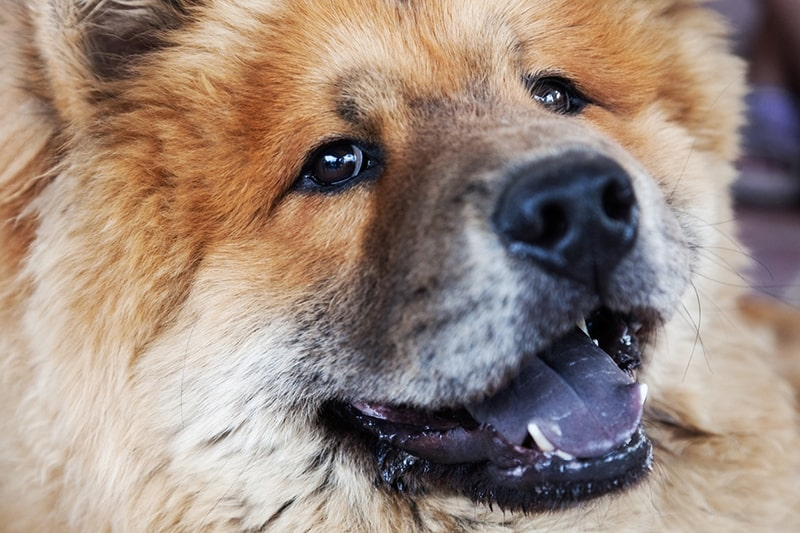 face of a red chow chow dog with a black tongue