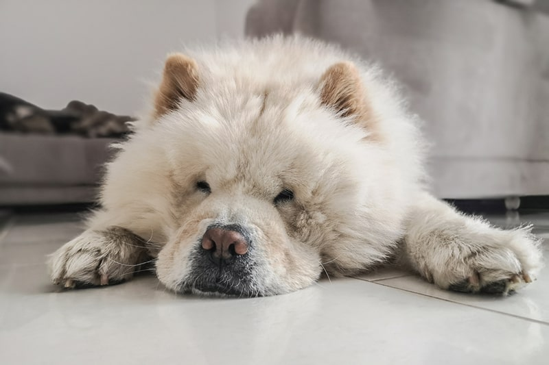 white chow chow dog resting on tile floor at home