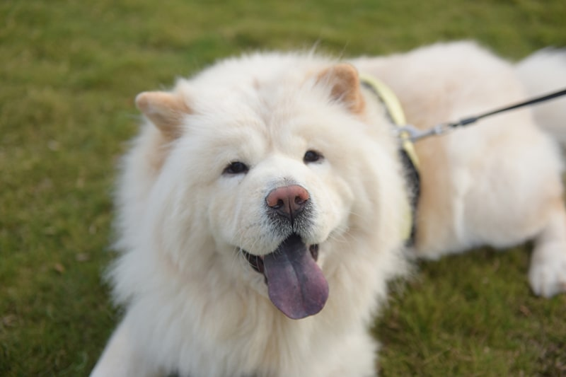 white chow chow dog with a yellow harness and black leash resting outdoors