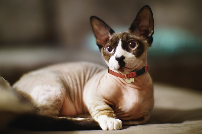 bambino sphynx cat with brown ears and blue eyes