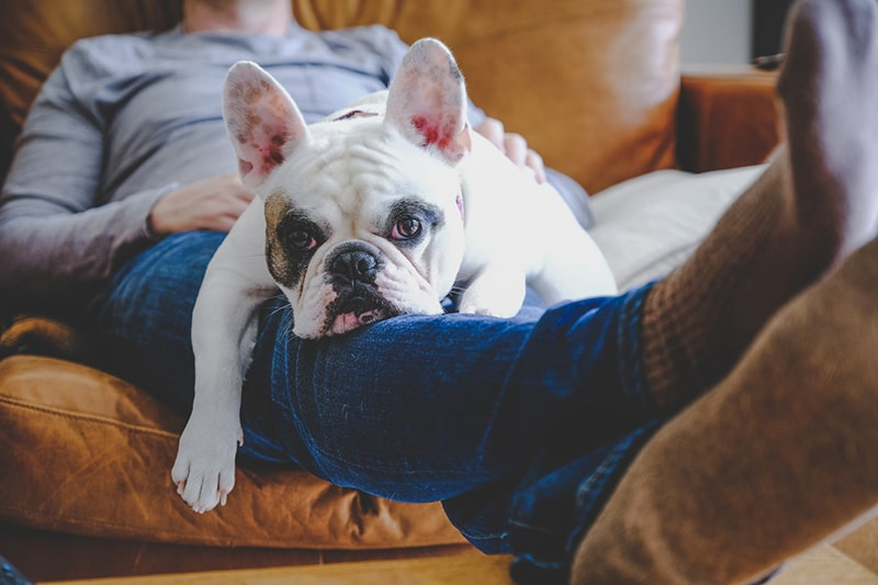 bulldog resting on a mans lap in a brown leather chair
