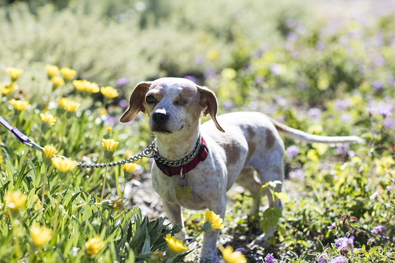 one-eyed beagle mix with a red color and gold tag on a leash in the middle of a field of yellow flowers