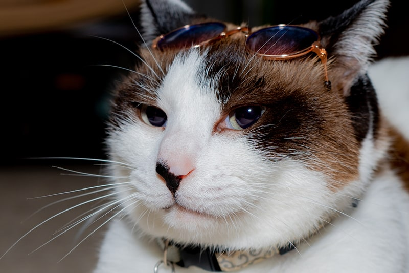 calico snowshoe cat with a printed collar and sunglasses on its head
