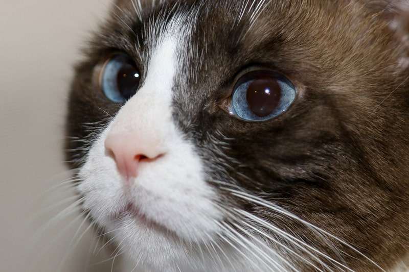 closeup image of a snowshoe cat with blue eyes