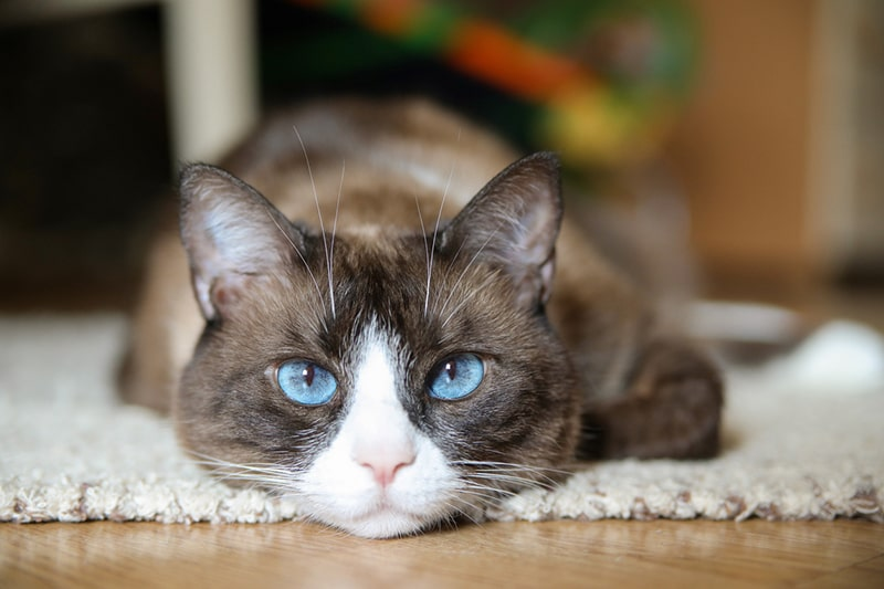 domestic snowshoe cat with bright blue eyes lying on a white rug