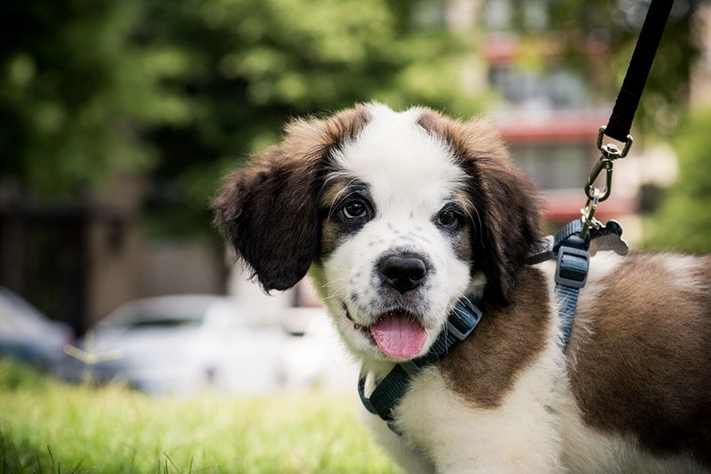 happy saint Bernard puppy in a blue harness out for a walk on a black leash