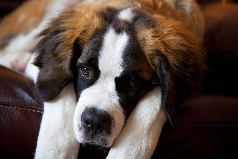 saint Bernard dog resting on a brown leather couch