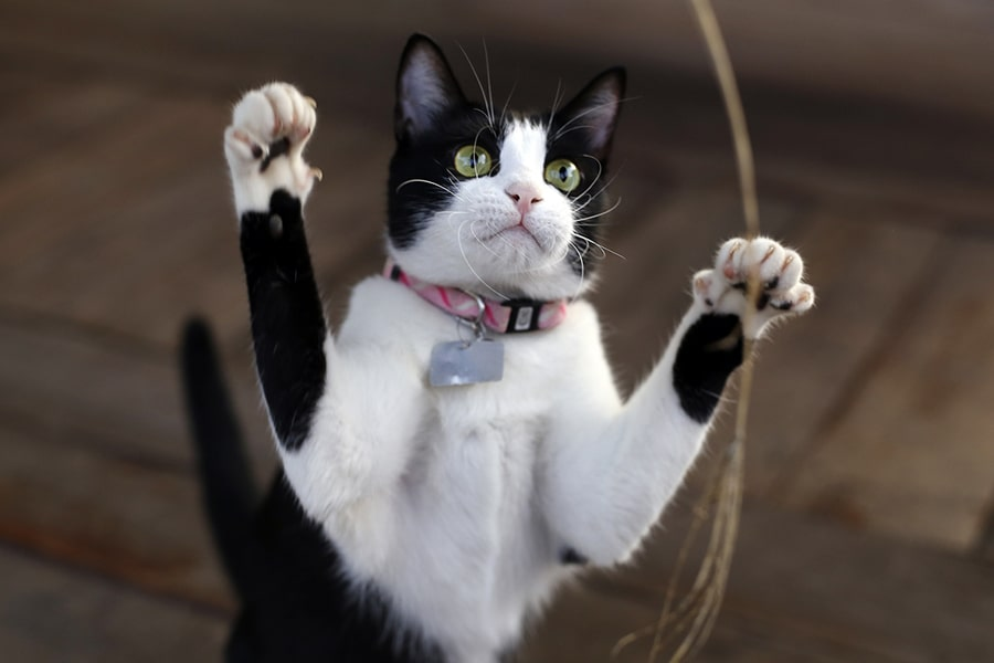 black and white kitten with a pink collar and silver tag swatting at a toy