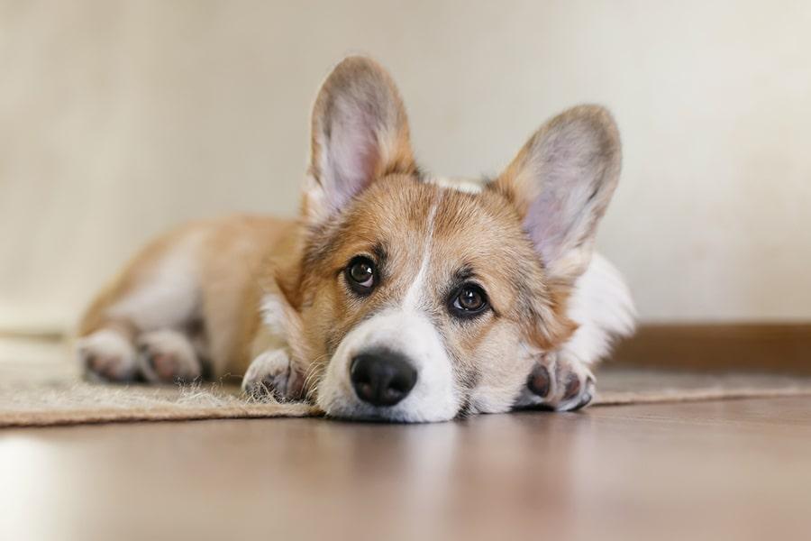 cute corgi resting on a rug at home