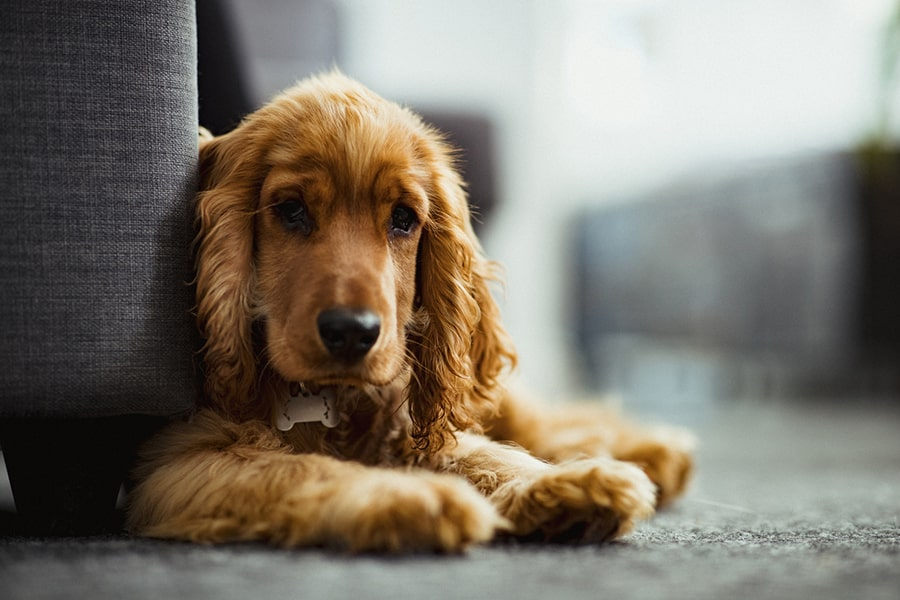 red cocker spaniel resting on the floor next to a gray sofa