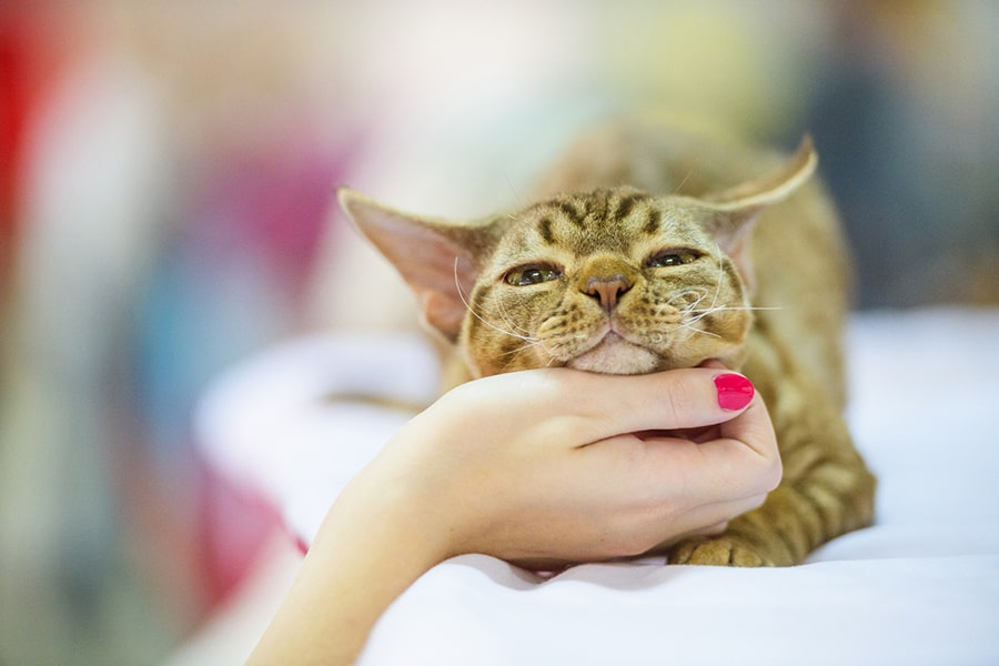 devon rex tabby cat having his chin scratched by a woman with hot pink fingernails