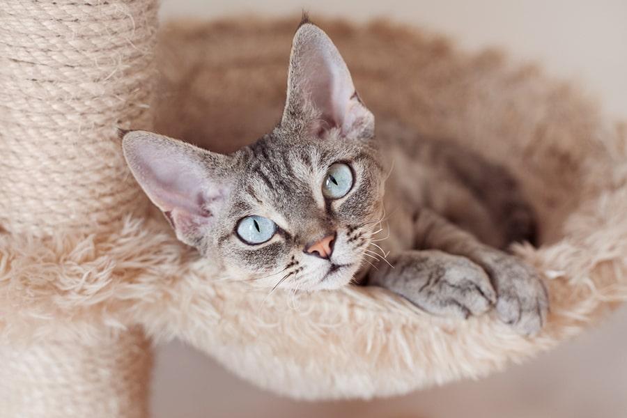 devon rex tabby cat resting on a scratching post