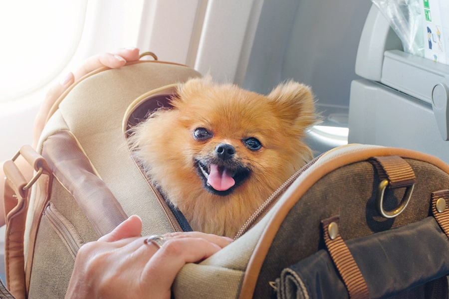 Pomeranian dog sitting in a carrier tote on a plane