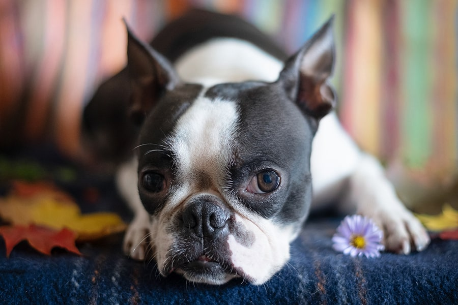 boston terrier dog resting on a blue sofa
