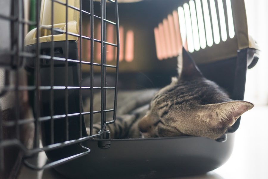 tabby cat napping inside a hard-shelled travel crate